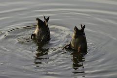Pares de undulata Amarillo-cargado en cuenta de Fango-pasto de las anecdotarios de los patos fotografía de archivo