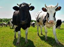 Pares de vacas curiosas en pasto Imagen de archivo libre de regalías