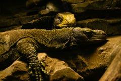 Pares de Varanus Salvadorii do monitor do crocodilo que descansa em um terrarium fotografia de stock royalty free