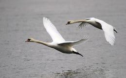 Pares de voo das cisnes Fotografia de Stock Royalty Free