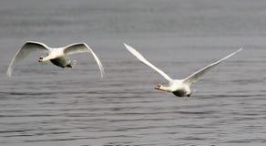 Pares de voo das cisnes Imagens de Stock Royalty Free
