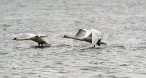 Pares de voo das cisnes mudas Imagens de Stock