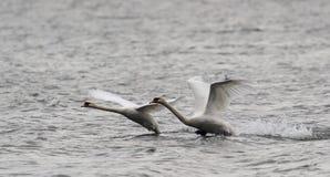 Pares de voo das cisnes mudas Imagem de Stock Royalty Free