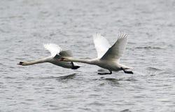 Pares de voo das cisnes mudas Fotografia de Stock