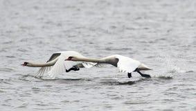 Pares de voo das cisnes mudas Imagens de Stock Royalty Free