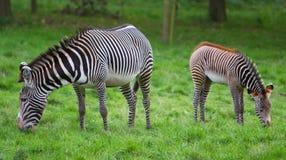 Pares de zebra Fotos de Stock Royalty Free