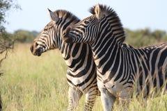 Pares de zebras Fotografia de Stock Royalty Free