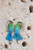 Pares del Abeja-comedor Azul-atado Foto de archivo libre de regalías