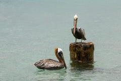 Pares del albatros Imágenes de archivo libres de regalías