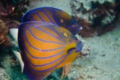 Pares del Angelfish anillado azul Fotografía de archivo
