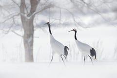 Pares del baile de grúa Rojo-coronada, tormenta de la nieve, Hokkaido, Japón Pájaro en la mosca, escena del invierno con nieve Da imágenes de archivo libres de regalías