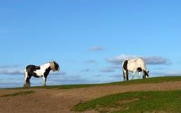 Pares del caballo Fotos de archivo libres de regalías