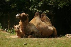 Pares del camello Fotos de archivo libres de regalías