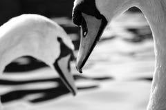 Pares del cisne Fotos de archivo libres de regalías