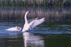 Pares del cisne Foto de archivo