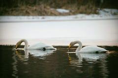 Pares del cisne de Whooper, bebiendo Fotografía de archivo
