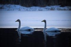 Pares del cisne de Whooper en la noche Imagen de archivo libre de regalías