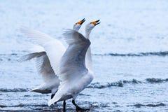 Pares del cisne del canto Fotos de archivo