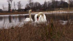 Pares del cisne en el lago