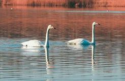 Pares del cisne en el lago Fotografía de archivo libre de regalías