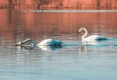 Pares del cisne en el lago Fotografía de archivo