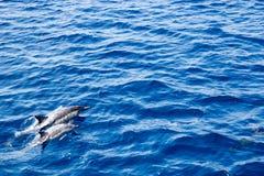 Pares del delfín que apresuran Foto de archivo