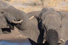 Pares del elefante africano, de jóvenes y del adulto, en el waterhole Safari en el parque nacional de Chobe, destino de la fauna  Imagen de archivo libre de regalías