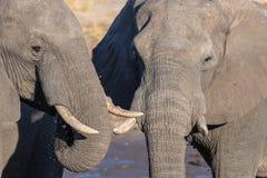 Pares del elefante africano, de jóvenes y del adulto, en el waterhole Safari en el parque nacional de Chobe, destino de la fauna  Fotos de archivo