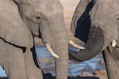 Pares del elefante africano, de jóvenes y del adulto, en el waterhole Safari en el parque nacional de Chobe, destino de la fauna  Fotografía de archivo libre de regalías