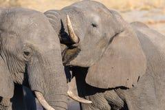 Pares del elefante africano, de jóvenes y del adulto, en el waterhole Safari en el parque nacional de Chobe, destino de la fauna  Foto de archivo libre de regalías