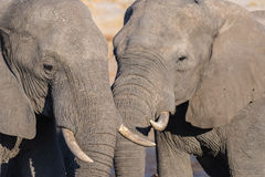 Pares del elefante africano, de jóvenes y del adulto, en el waterhole Safari en el parque nacional de Chobe, destino de la fauna  Imagen de archivo