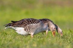 Pares del ganso de ganso silvestre que alimentan en hierba Imagen de archivo libre de regalías