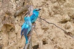 Pares del garrulus del Coracias del rodillo europeo que se sienta en una rama Foto de archivo libre de regalías