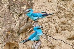 Pares del garrulus del Coracias del rodillo europeo que se sienta en una rama Fotos de archivo libres de regalías