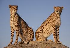 Pares del guepardo en la puesta del sol imagen de archivo