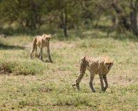 Pares del guepardo que recorren en Ngorogoro imagen de archivo libre de regalías