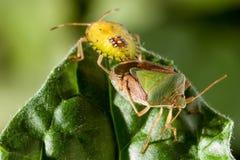 Pares del insecto del chinche en cierre del extremo de la hoja encima de la foto fotos de archivo libres de regalías