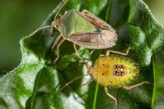Pares del insecto del chinche en cierre del extremo de la hoja encima de la foto fotos de archivo