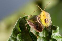 Pares del insecto del chinche en cierre del extremo de la hoja encima de la foto fotografía de archivo