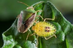 Pares del insecto del chinche en cierre del extremo de la hoja encima de la foto imagen de archivo