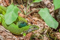 Pares del lagarto verde y de x28; Bilineata& x29 del Lacerta; Imagenes de archivo