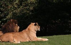 Pares del león Foto de archivo