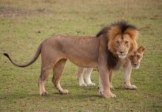 Pares del león Fotos de archivo