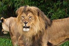 Pares del león en el parque zoológico Imagenes de archivo