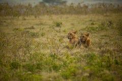 Pares del león resing en África Imágenes de archivo libres de regalías