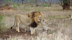 Pares del león Imagen de archivo libre de regalías