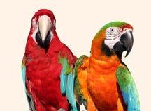 Pares del Macaw Fotos de archivo libres de regalías