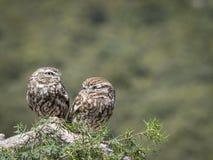 Pares del noctua del Athene de los pequeños búhos en su hábitat natural imagenes de archivo