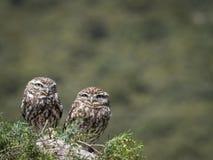 Pares del noctua del Athene de los pequeños búhos en su hábitat natural imágenes de archivo libres de regalías