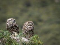 Pares del noctua del Athene de los pequeños búhos en su hábitat natural fotografía de archivo libre de regalías